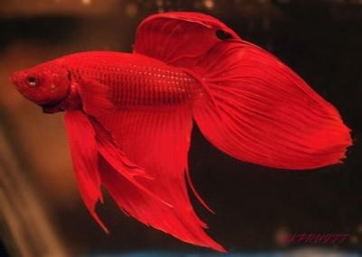 Сиамские Бойцовские рыбки - Петушки (Betta splendens) - один из самых популярных тропических