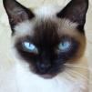 Кошка Фалька
