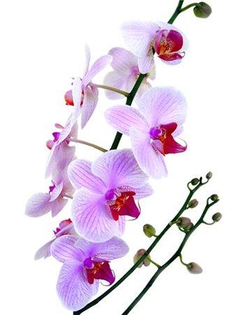 Существует такое поверье, что орхидеи находятся на высшей ступени эволюции растений, мы собрали красивишие...