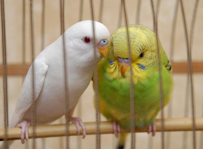 Определить пол волнистого попугая фото