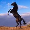 cavallo_bk