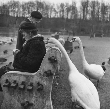 Swan Biting a Woman's Coat