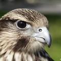 Grey Kite aka R.L.