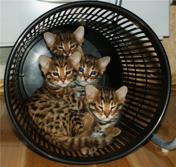бенгальская кошка фото - фотография 4.