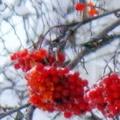 Рыжая Псина