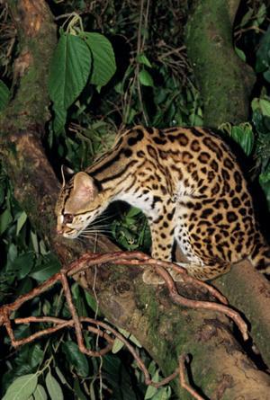 На таможне Эстонии задержали контрабандные шкурки бенгальской кошки.