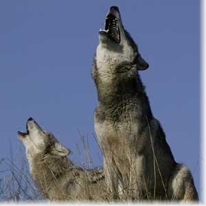 Музыка алькор волчий плащ