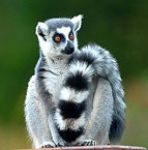 fashion lemur