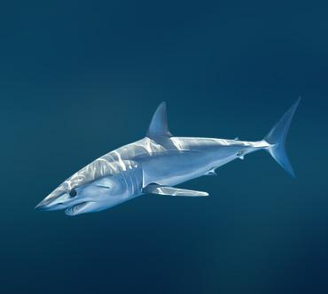 Прикрепленные изображения.  44336. Акула Мако.
