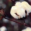 CottonFluff
