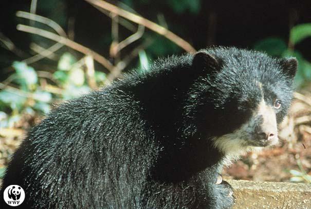 ОЧКОВЫЙ МЕДВЕДЬ (Tremarctcs ornatus), хищное млекопитающее семейства...