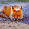 Hawaiian Fox