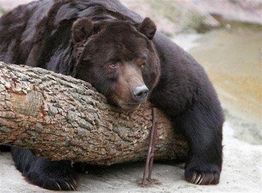 Медведи от фотографа Jill Greenberg .  (39 фото.