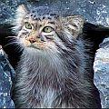 Хоэсси Сумеречный Кот
