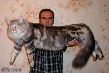 ...в мире был признан недавно пушистый кот породы мэйн-кун по имени Стюи.
