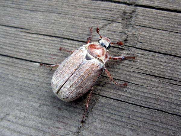 ловим на майского жука видео