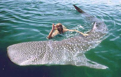 Горло китовой акулы очень узкое, и пищевод поворачивает к желудку чуть...