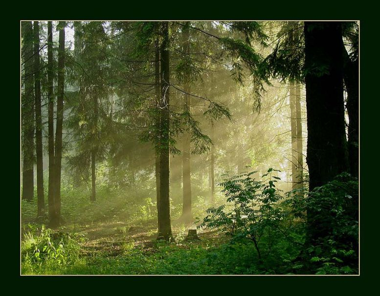 Хвойный лес 40896112