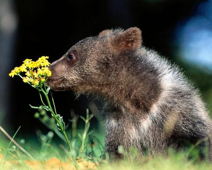 Медведи Бурые ( Гризли ) - Животные Обои и Фото.