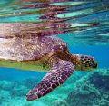 Черепаха-хозяйка