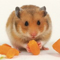 Goldhamster