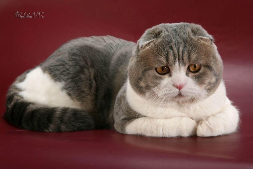 Re: Шотландские вислоухие кошки (Скоттиш-фолды)