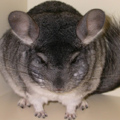Chinchilla.Club