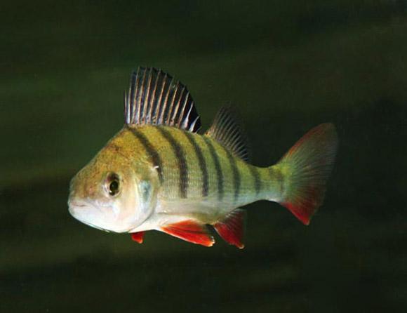 Место обитания: Размер: Вес: Описание: Содержание рыбок: Аквариум...