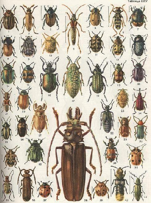 все жуки россии по картинками неимоверно широка