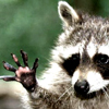 Johnnie The Raccoon