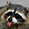 Johnnie The Raccoon