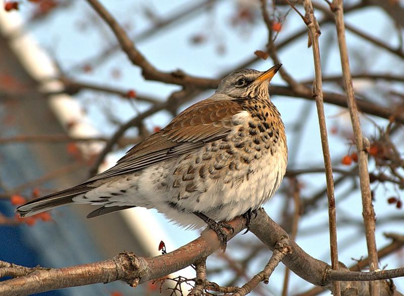 Птицы нижегородской области фото и названия зимой