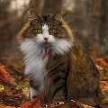 кот, который любит осень