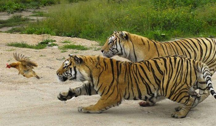 Как тигры курицу летать научили:). Факты из жизни