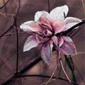 Viola Oriental