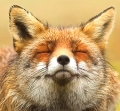лис с седыми ушами