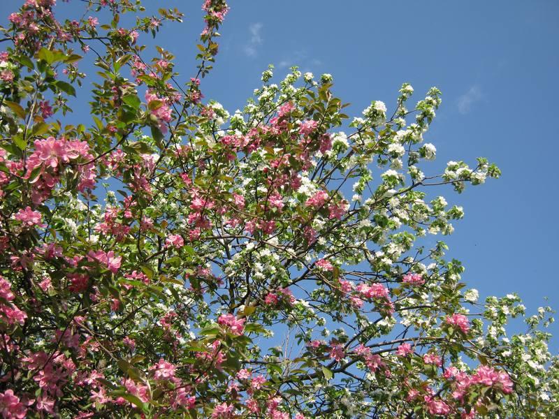 Яблони, цветущий каштан и