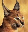 Yellow-eyed Lynx