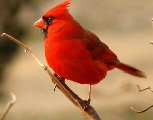 червоний кардинал