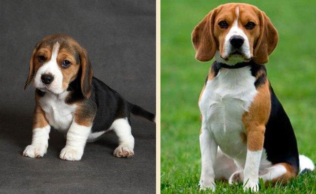 Бигль вес взрослой собаки