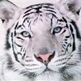 Tigris Alba