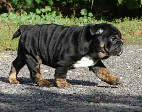 Красивые и нестандартные окрасы у собак. английский бульдог.