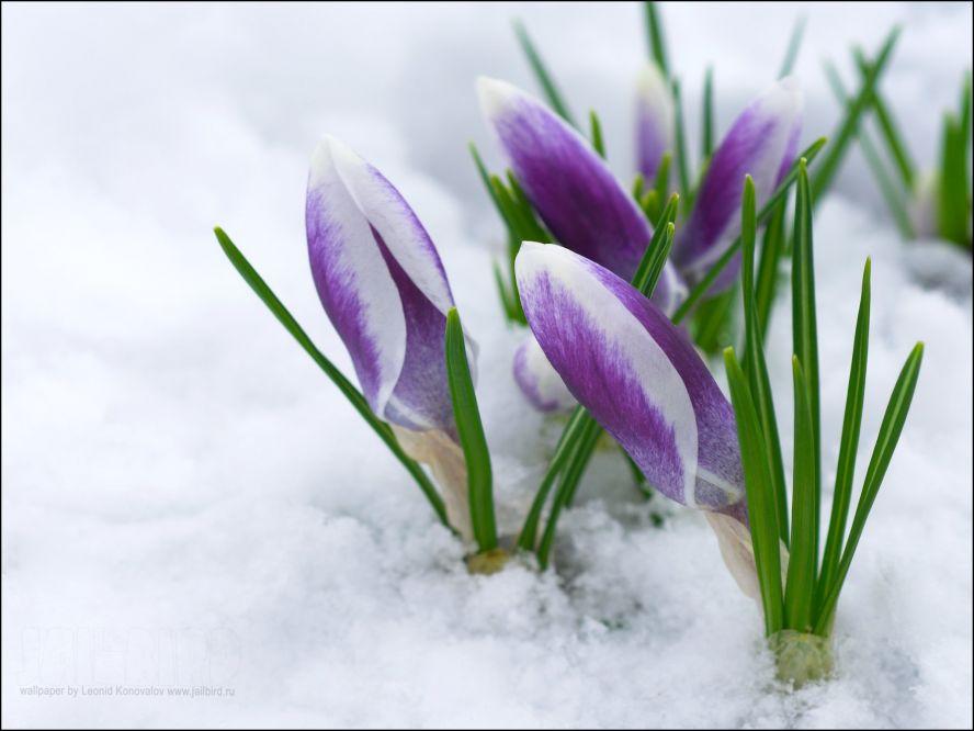 Картинки первых весенних цветов 3