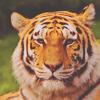 fem!black!tiger