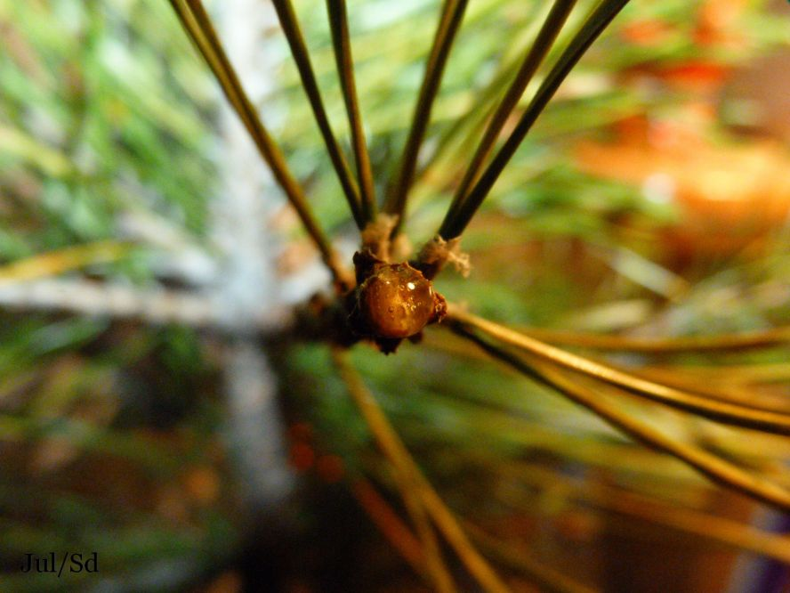 смола с веточки елки