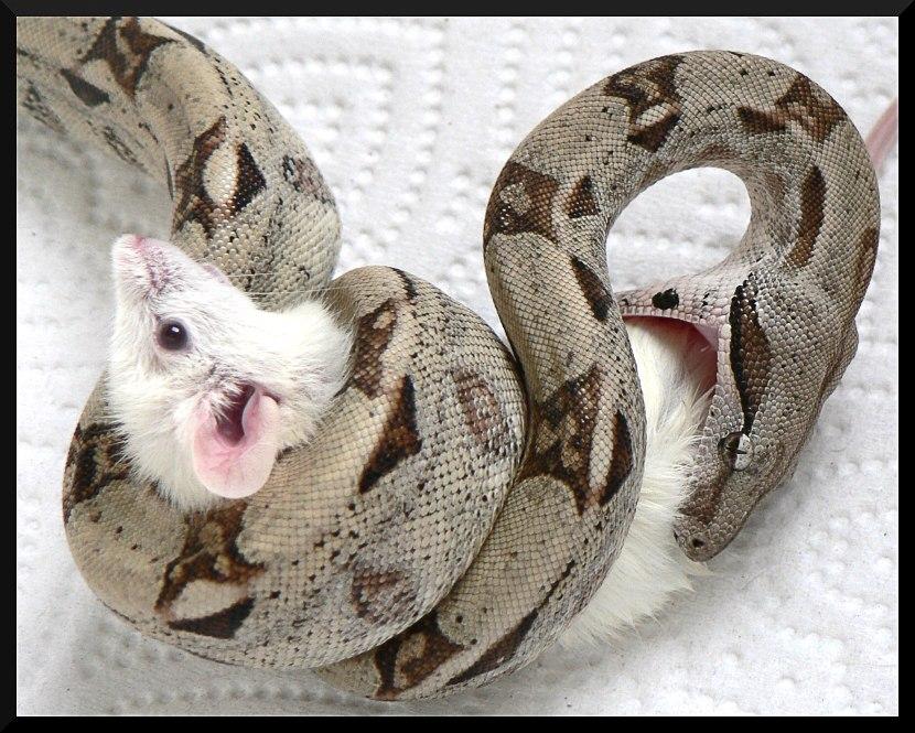 Чем кормить змею в домашних условиях