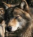 Хитрый волк