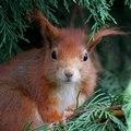 Orava