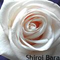 Shiroi bara