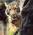 tigryonok_u